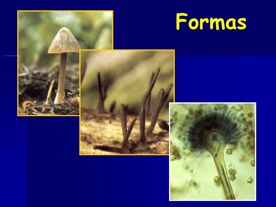Coccidioides Histoplasma Se adaptan a Ambientes extremos o rigurosos, poco aptos para posibles competencias Estrategia Fríos Secos Húmedos Dimorfismo