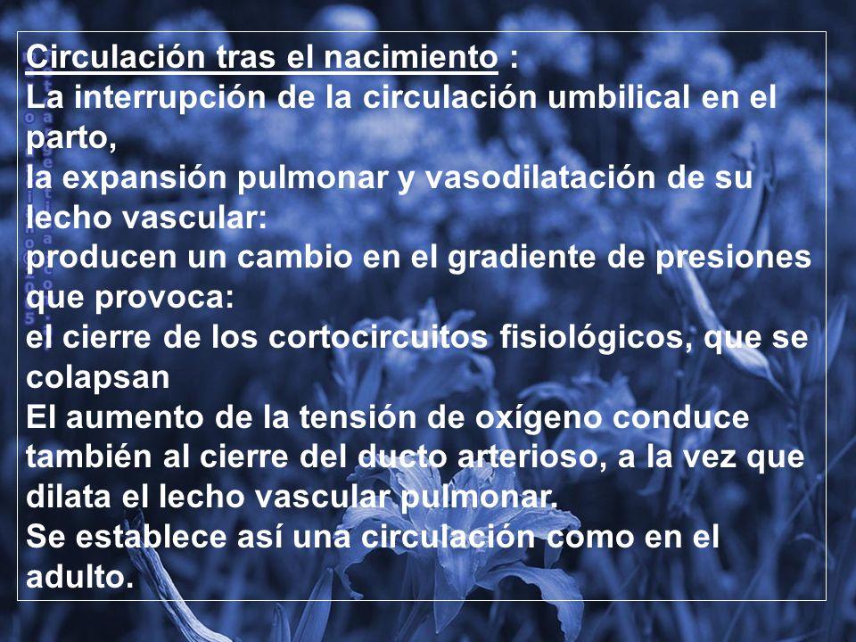 Circulación tras el nacimiento : La interrupción de la circulación umbilical en el parto, junto a la Expansión pulmonar y vasodilatación de su lecho vascular, producen un Cambio en el gradiente de presiones que provoca el cierre de los cortocircuitos fisiológicos, que se colapsan.