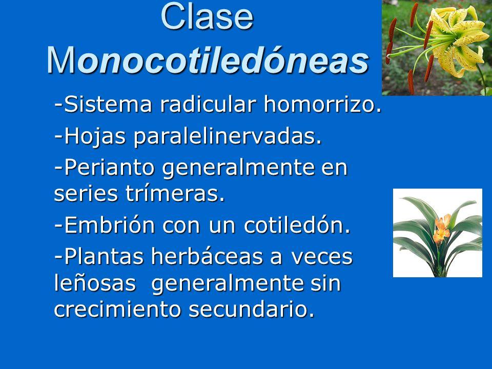 Clase Monocotiledóneas -Sistema radicular homorrizo. -Hojas paralelinervadas. -Perianto generalmente en series trímeras. -Embrión con un cotiledón. -P