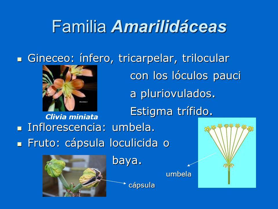Gineceo: ínfero, tricarpelar, trilocular Gineceo: ínfero, tricarpelar, trilocular con los lóculos pauci con los lóculos pauci a pluriovulados. a pluri