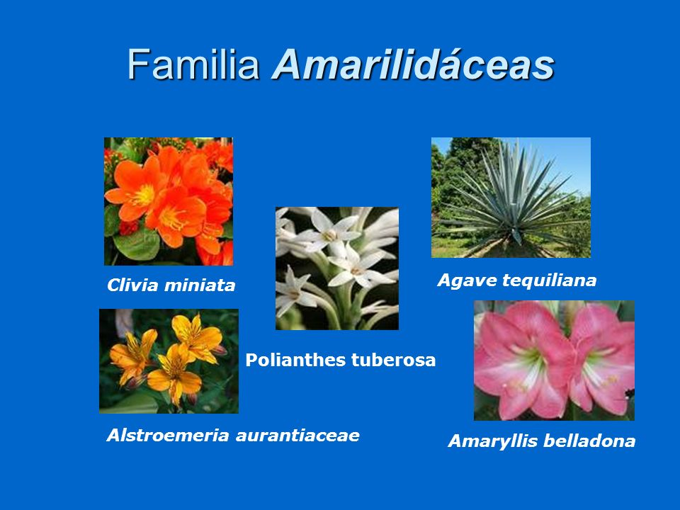 Familia Amarilidáceas Clivia miniata Agave tequiliana Polianthes tuberosa Amaryllis belladona Alstroemeria aurantiaceae