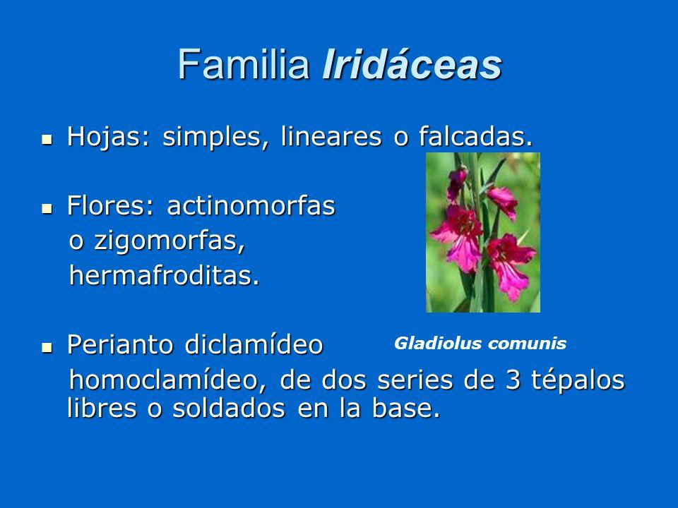 Familia Iridáceas Hojas: simples, lineares o falcadas. Hojas: simples, lineares o falcadas. Flores: actinomorfas Flores: actinomorfas o zigomorfas, o