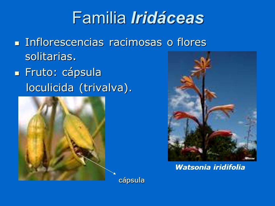 Familia Iridáceas Inflorescencias racimosas o flores solitarias. Inflorescencias racimosas o flores solitarias. Fruto: cápsula Fruto: cápsula loculici