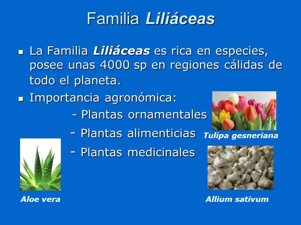 Familia Liliáceas La Familia Liliáceas es rica en especies, posee unas 4000 sp en regiones cálidas de todo el planeta. La Familia Liliáceas es rica en
