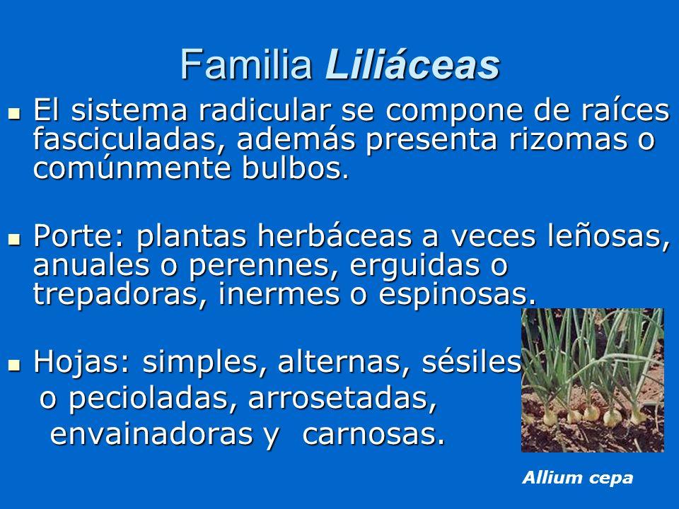 Familia Liliáceas El sistema radicular se compone de raíces fasciculadas, además presenta rizomas o comúnmente bulbos. El sistema radicular se compone