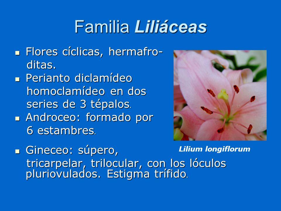 Familia Liliáceas Flores cíclicas, hermafro- Flores cíclicas, hermafro- ditas. ditas. Perianto diclamídeo Perianto diclamídeo homoclamídeo en dos homo