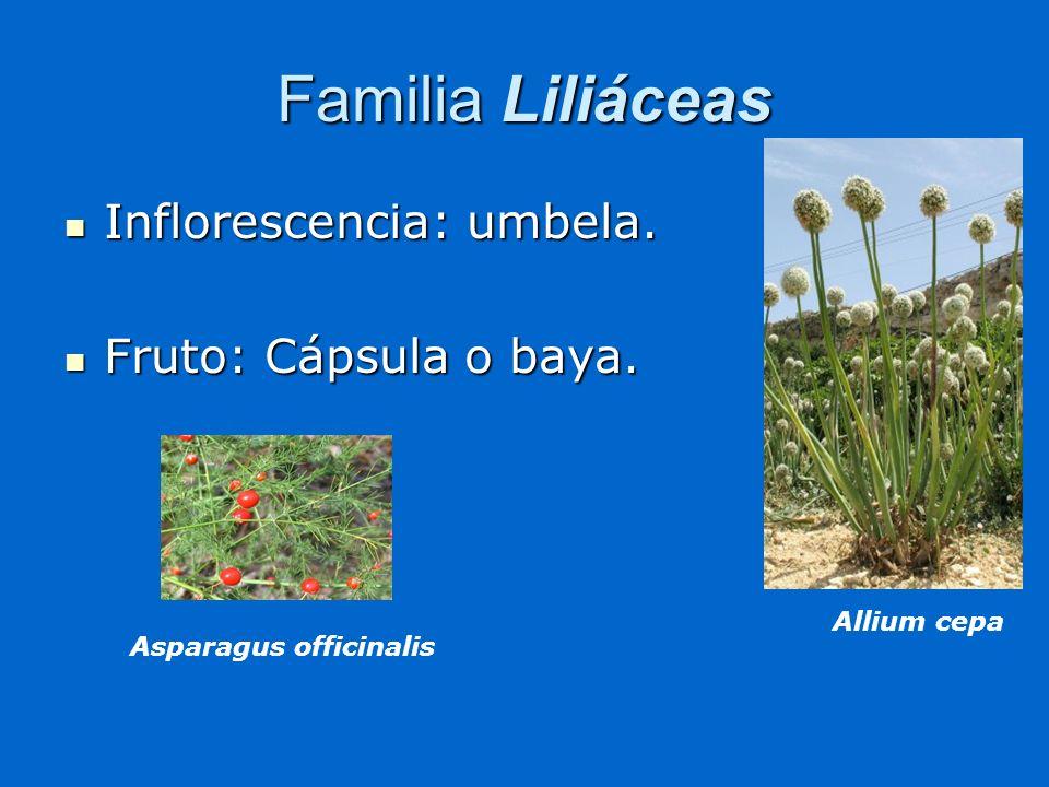 Familia Liliáceas Inflorescencia: umbela. Inflorescencia: umbela. Fruto: Cápsula o baya. Fruto: Cápsula o baya. Asparagus officinalis Allium cepa