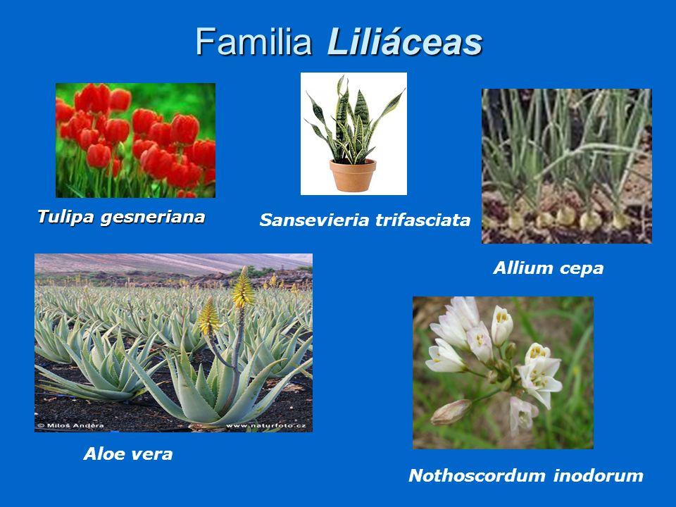 Familia Amarilidáceas Es una familia rica en especies, muy difundidas en regiones semiáridas de zonas cálidas de todo el mundo.