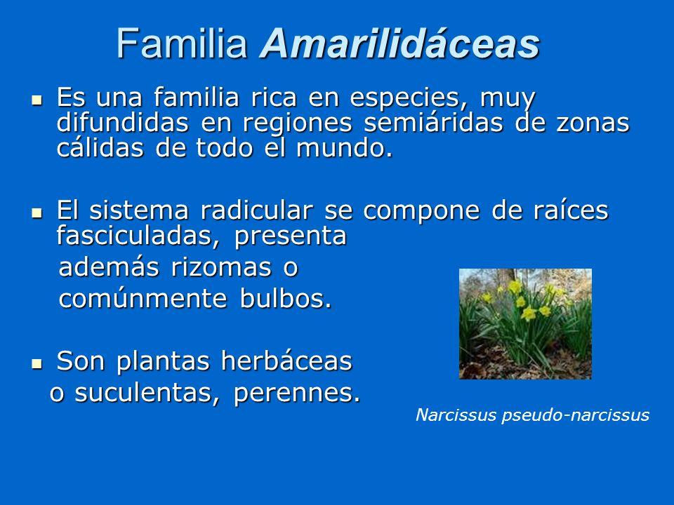 Familia Amarilidáceas Es una familia rica en especies, muy difundidas en regiones semiáridas de zonas cálidas de todo el mundo. Es una familia rica en