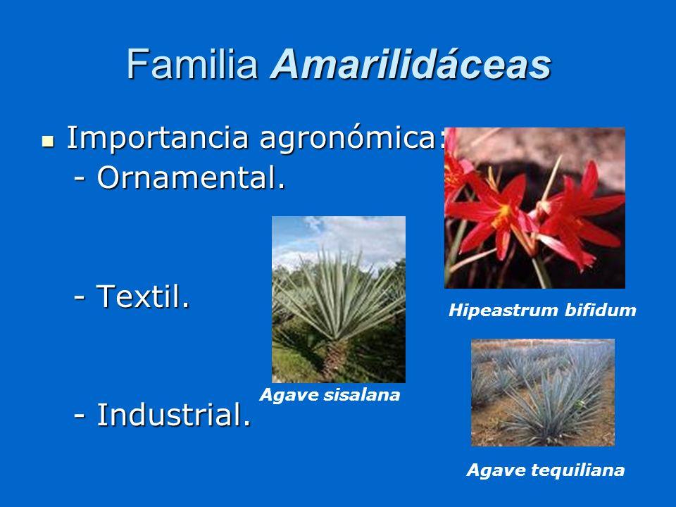 Familia Amarilidáceas Importancia agronómica: Importancia agronómica: - Ornamental. - Ornamental. - Textil. - Textil. - Industrial. - Industrial. Hipe