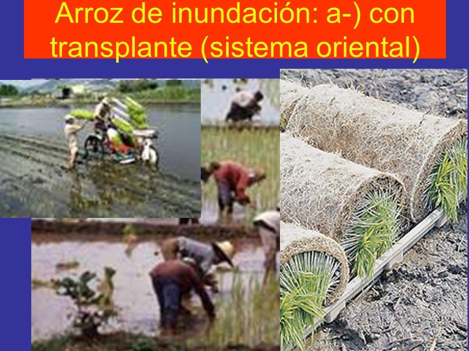 Arroz de inundación: a-) con transplante (sistema oriental)