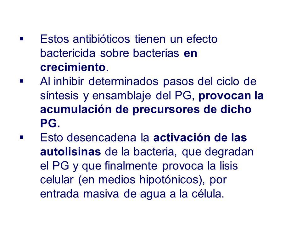 Estos antibióticos tienen un efecto bactericida sobre bacterias en crecimiento. Al inhibir determinados pasos del ciclo de síntesis y ensamblaje del P