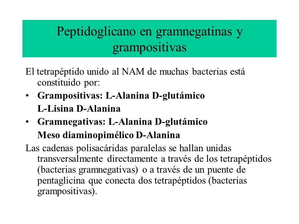 Peptidoglicano en gramnegatinas y grampositivas El tetrapéptido unido al NAM de muchas bacterias está constituido por: Grampositivas: L-Alanina D-glut