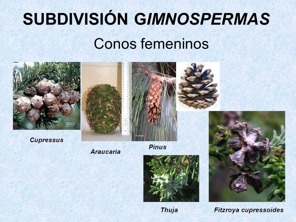 Conos femeninos Cupressus Araucaria Pinus Fitzroya cupressoides Thuja