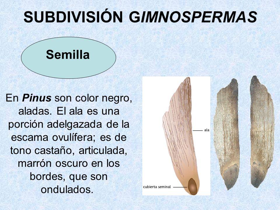 En Pinus son color negro, aladas. El ala es una porción adelgazada de la escama ovulífera; es de tono castaño, articulada, marrón oscuro en los bordes