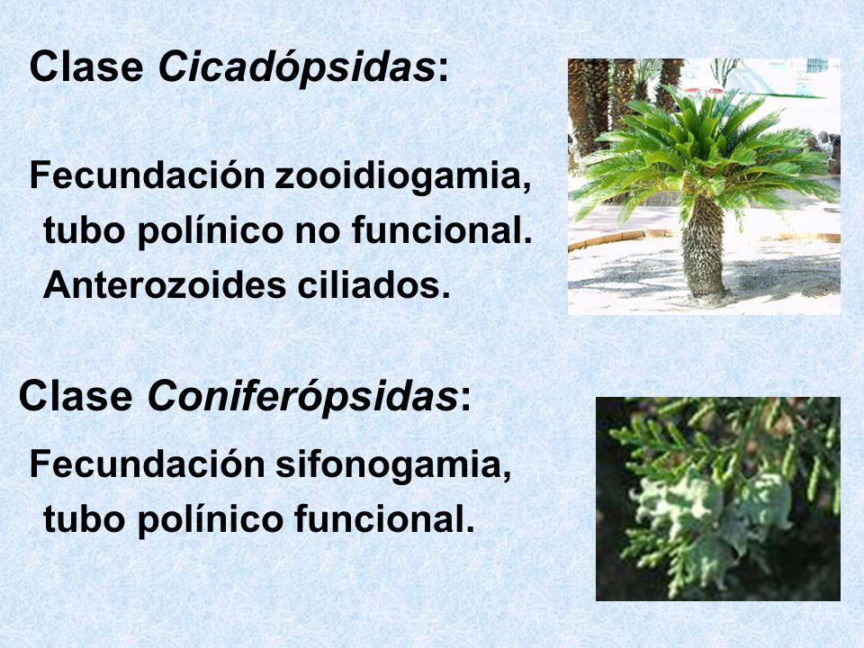 Clase Cicadópsidas: Fecundación zooidiogamia, tubo polínico no funcional. Anterozoides ciliados. Clase Coniferópsidas: Fecundación sifonogamia, tubo p