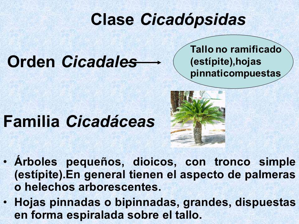 Clase Cicadópsidas Orden Cicadales Familia Cicadáceas Árboles pequeños, dioicos, con tronco simple (estípite).En general tienen el aspecto de palmeras