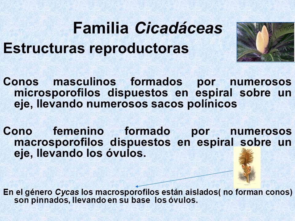 Familia Cicadáceas Estructuras reproductoras Conos masculinos formados por numerosos microsporofilos dispuestos en espiral sobre un eje, llevando nume
