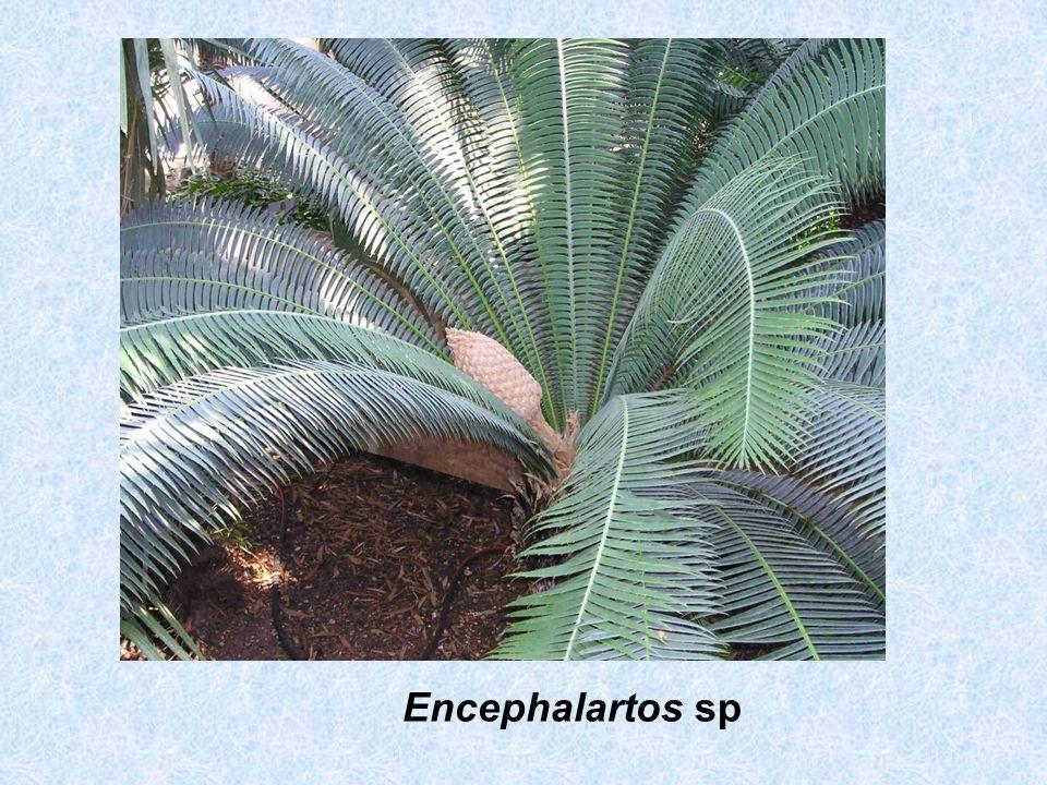 Encephalartos sp