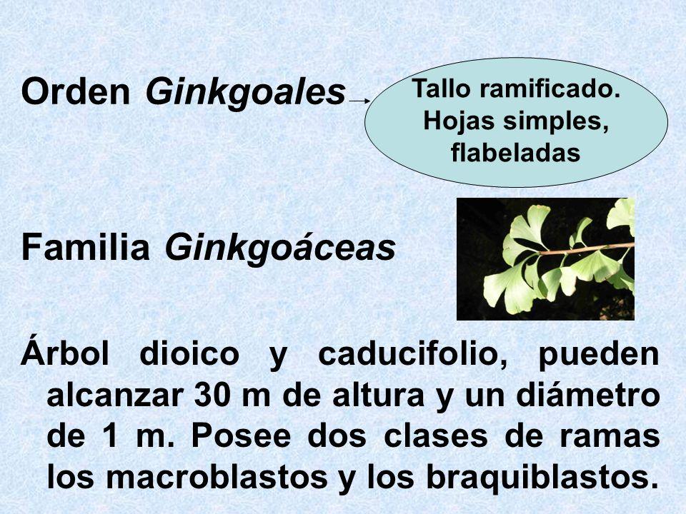 Orden Ginkgoales Familia Ginkgoáceas Árbol dioico y caducifolio, pueden alcanzar 30 m de altura y un diámetro de 1 m. Posee dos clases de ramas los ma