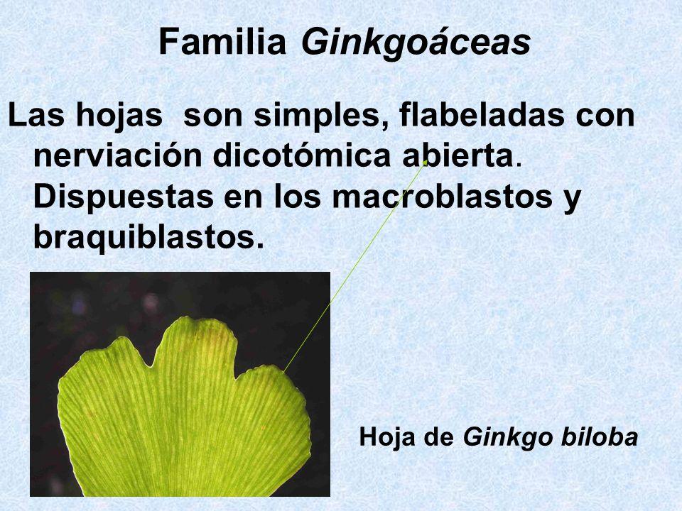 Familia Ginkgoáceas Las hojas son simples, flabeladas con nerviación dicotómica abierta. Dispuestas en los macroblastos y braquiblastos. Hoja de Ginkg