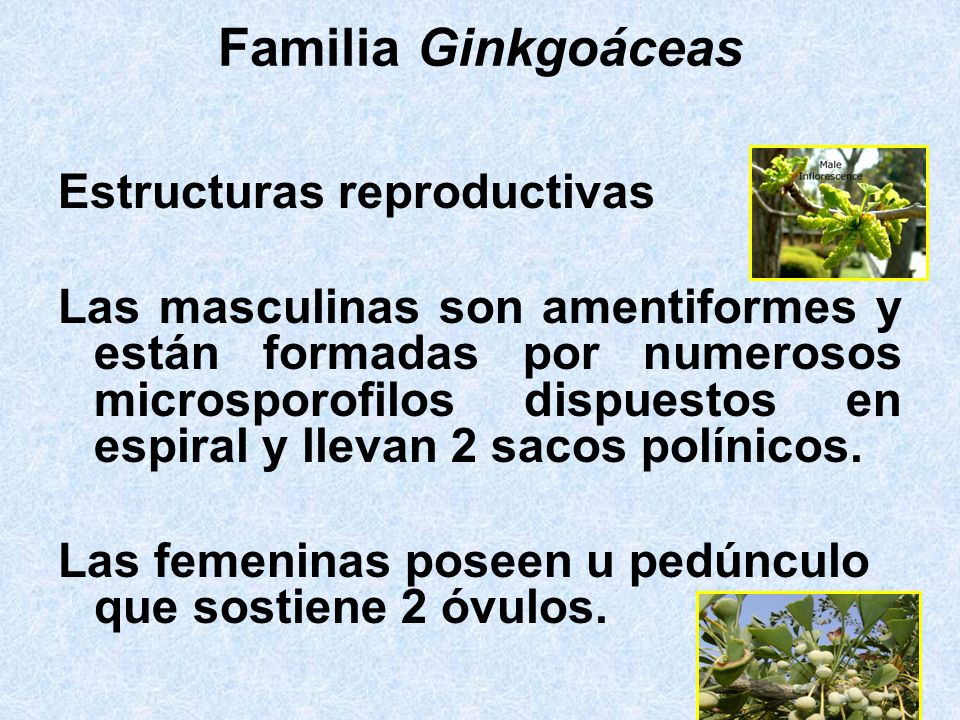 Familia Ginkgoáceas Estructuras reproductivas Las masculinas son amentiformes y están formadas por numerosos microsporofilos dispuestos en espiral y l