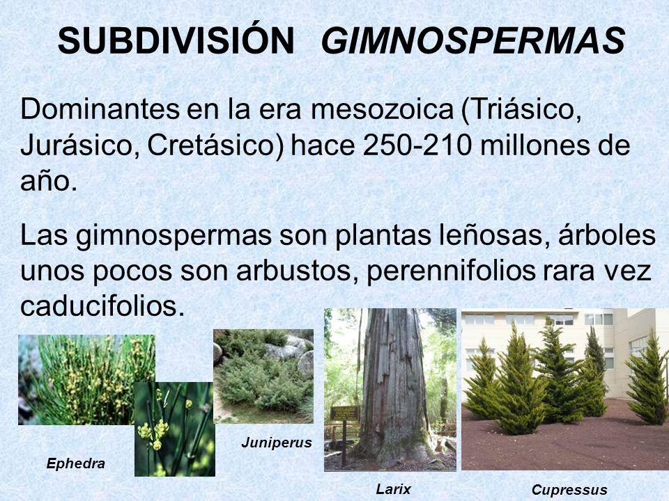 SUBDIVISIÓN GIMNOSPERMAS Dominantes en la era mesozoica (Triásico, Jurásico, Cretásico) hace 250-210 millones de año. Las gimnospermas son plantas leñ