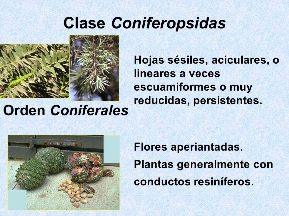 Clase Coniferopsidas Orden Coniferales Hojas sésiles, aciculares, o lineares a veces escuamiformes o muy reducidas, persistentes. Flores aperiantadas.