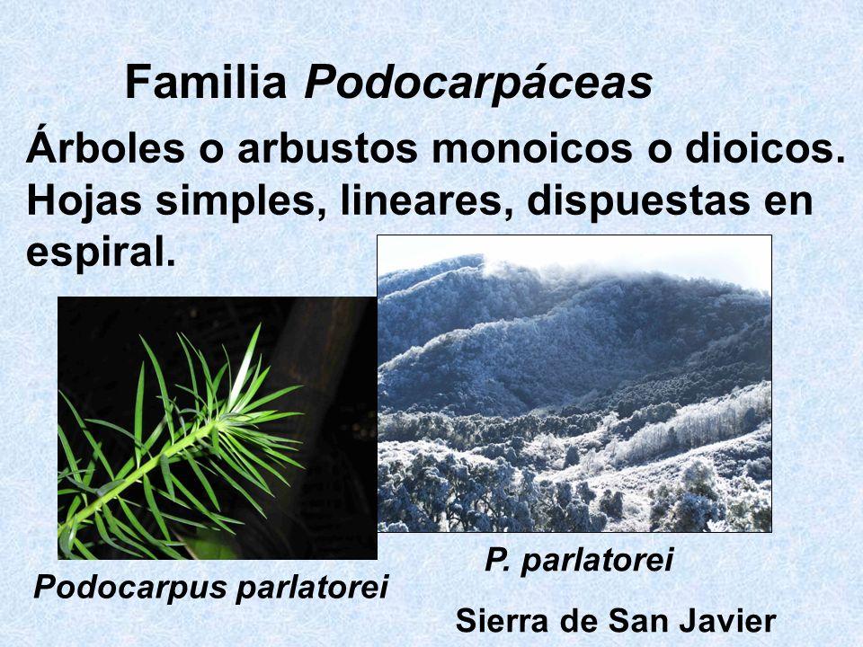 Familia Podocarpáceas Árboles o arbustos monoicos o dioicos. Hojas simples, lineares, dispuestas en espiral. Podocarpus parlatorei P. parlatorei Sierr