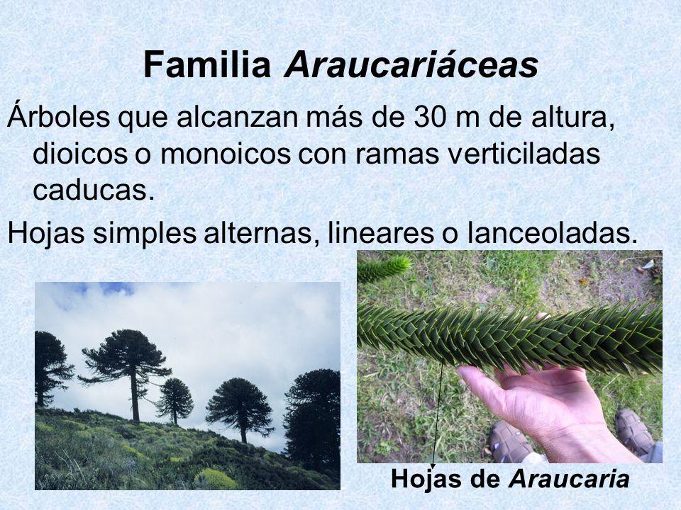 Familia Araucariáceas Árboles que alcanzan más de 30 m de altura, dioicos o monoicos con ramas verticiladas caducas. Hojas simples alternas, lineares