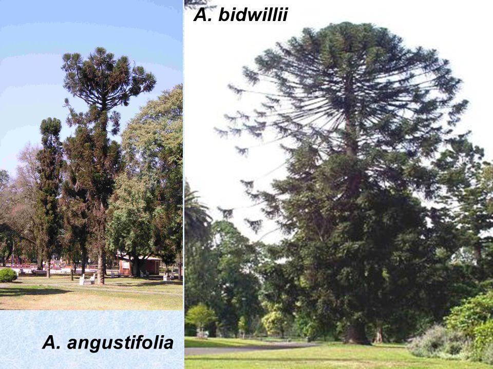 A. angustifolia A. bidwillii