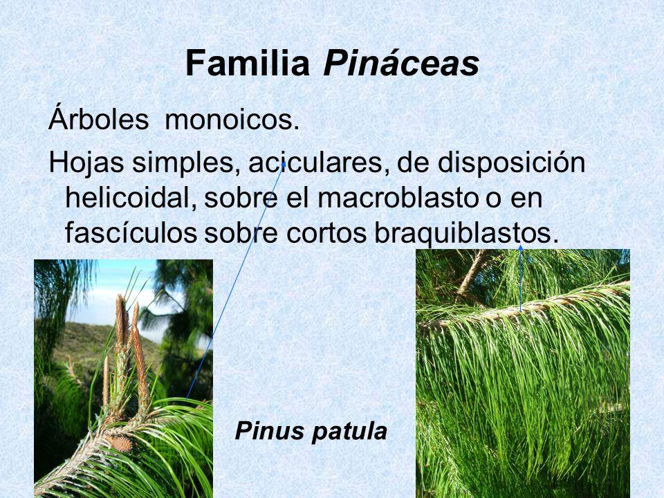 Familia Pináceas Árboles monoicos. Hojas simples, aciculares, de disposición helicoidal, sobre el macroblasto o en fascículos sobre cortos braquiblast
