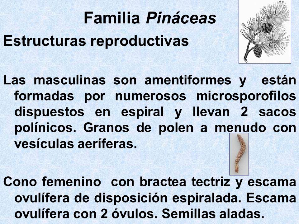 Familia Pináceas Estructuras reproductivas Las masculinas son amentiformes y están formadas por numerosos microsporofilos dispuestos en espiral y llev