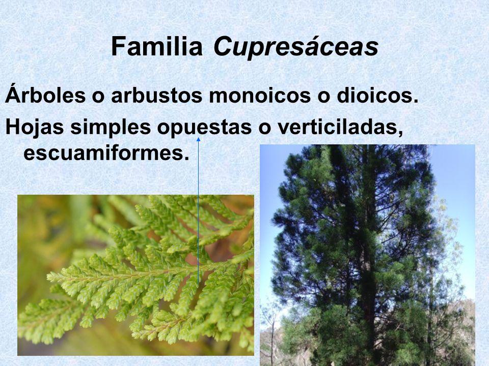 Familia Cupresáceas Árboles o arbustos monoicos o dioicos. Hojas simples opuestas o verticiladas, escuamiformes.