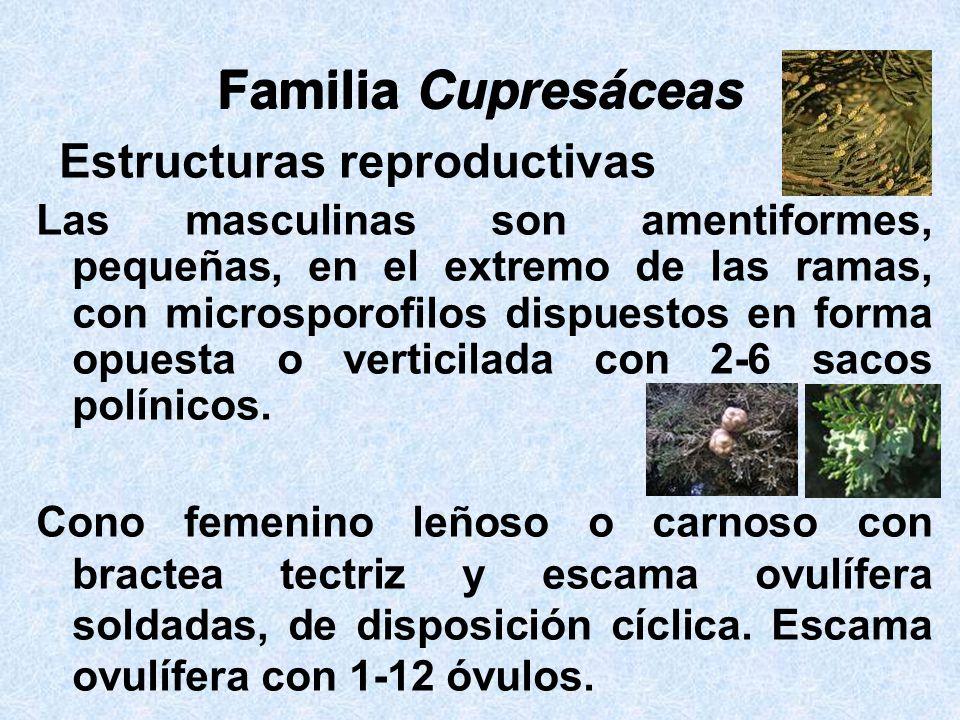 Familia Cupresáceas Las masculinas son amentiformes, pequeñas, en el extremo de las ramas, con microsporofilos dispuestos en forma opuesta o verticila