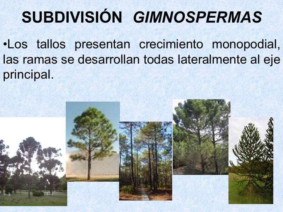 Los tallos presentan crecimiento monopodial, las ramas se desarrollan todas lateralmente al eje principal. SUBDIVISIÓN GIMNOSPERMAS