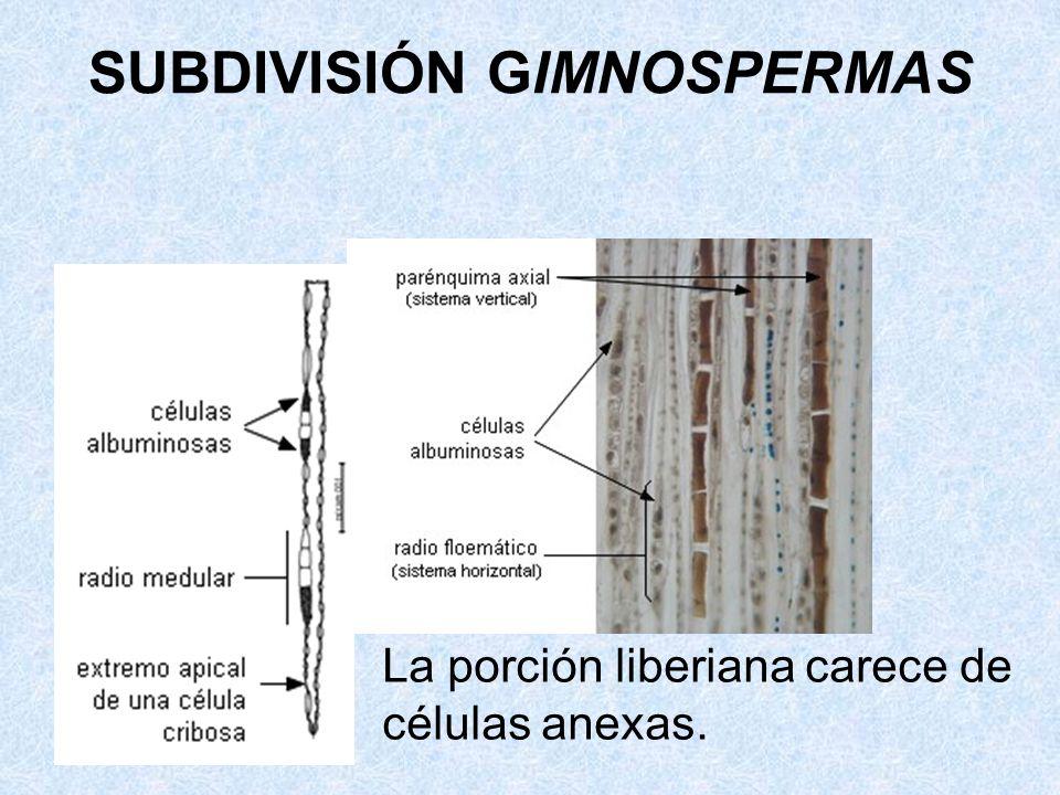 La porción liberiana carece de células anexas. SUBDIVISIÓN GIMNOSPERMAS