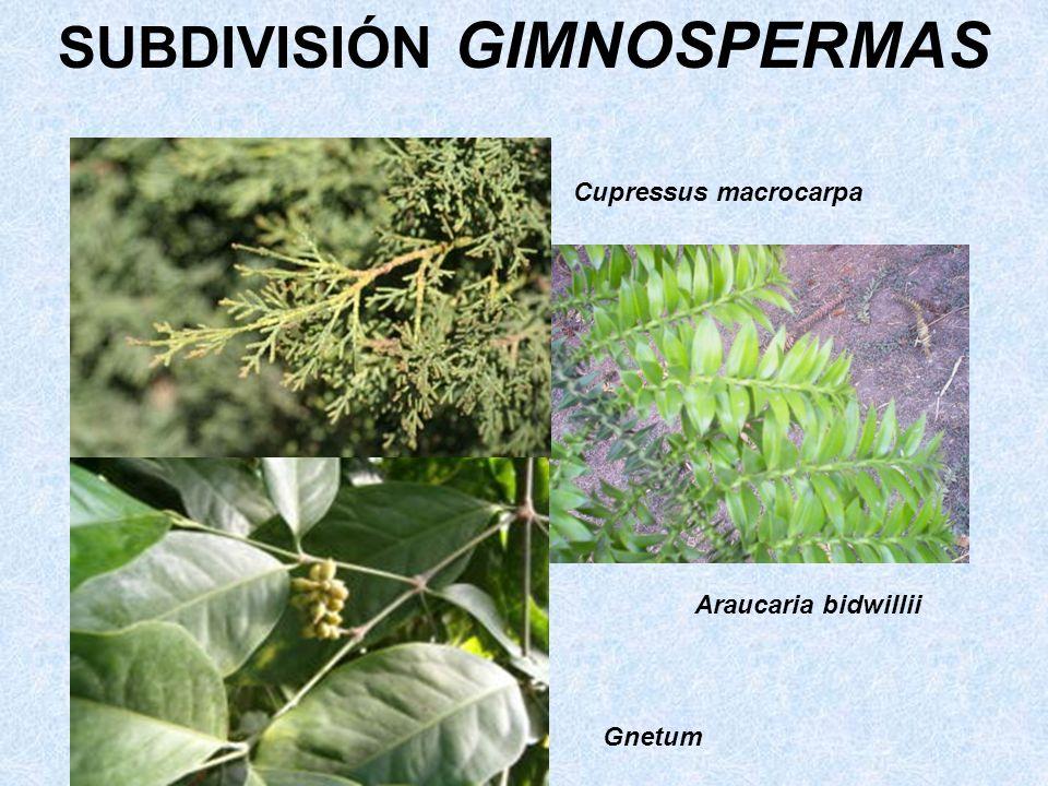 Cupressus macrocarpa Araucaria bidwillii Gnetum SUBDIVISIÓN GIMNOSPERMAS