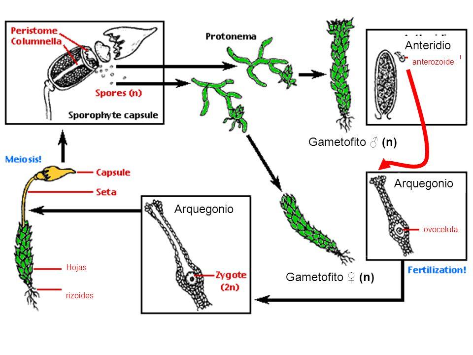 Anteridio anterozoide Gametofito (n) Arquegonio ovocelula Arquegonio Hojas rizoides