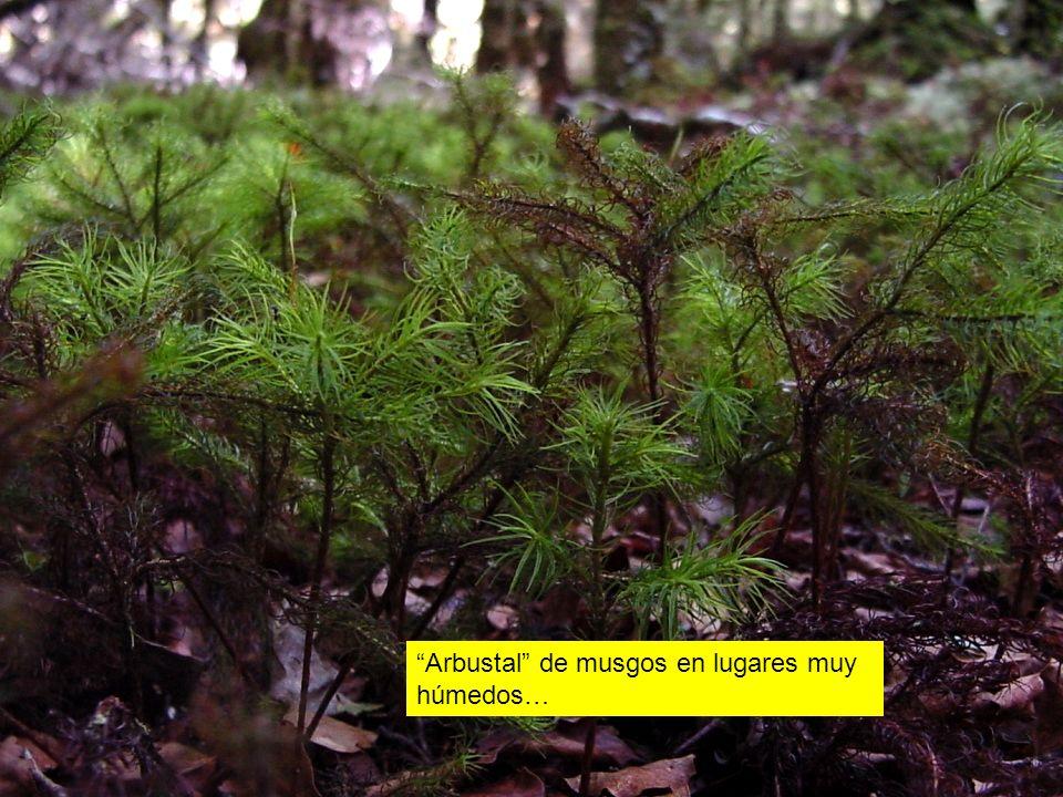 Arbustal de musgos en lugares muy húmedos…