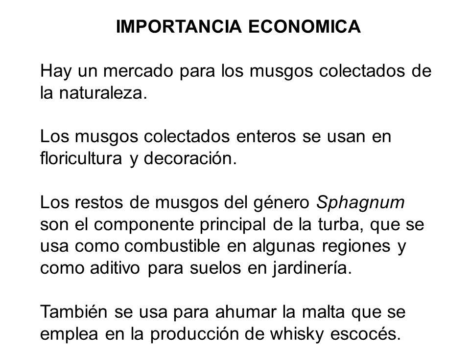 IMPORTANCIA ECONOMICA Hay un mercado para los musgos colectados de la naturaleza. Los musgos colectados enteros se usan en floricultura y decoración.