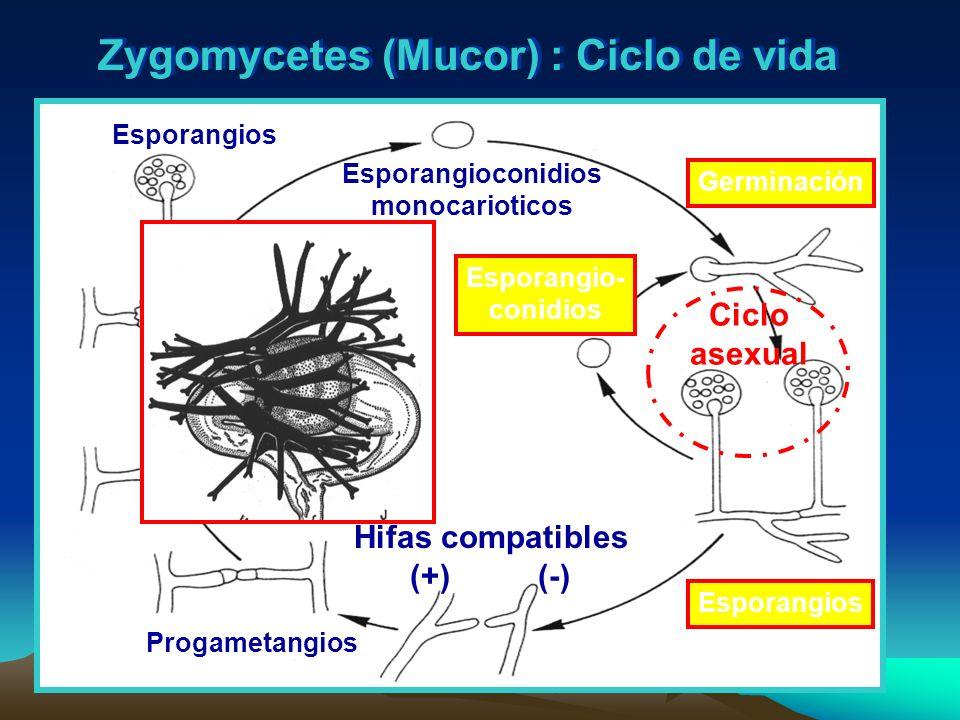 Zygomycetes (Mucor) : Ciclo de vida Esporangioconidios monocarioticos Germinación Esporangios Esporangio- conidios Progametangios Hifas compatibles (+