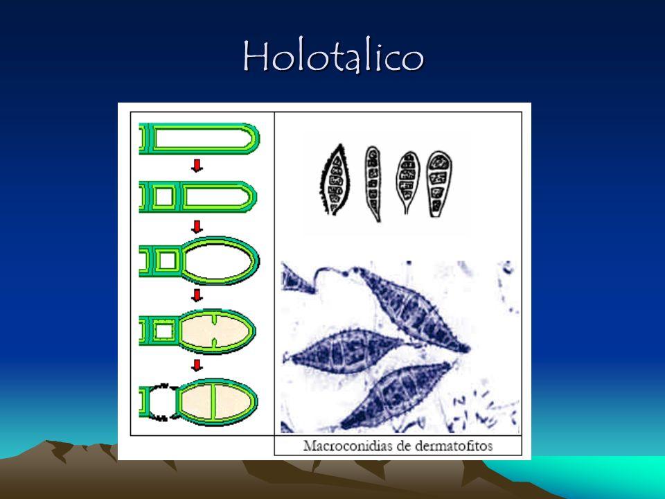 Desarrollo de un conidio Tálico (holotálico) Desarrollo de un conidio Tálico (holotálico) Proceso rexolítico de desarticulación Proceso rexolítico de desarticulación