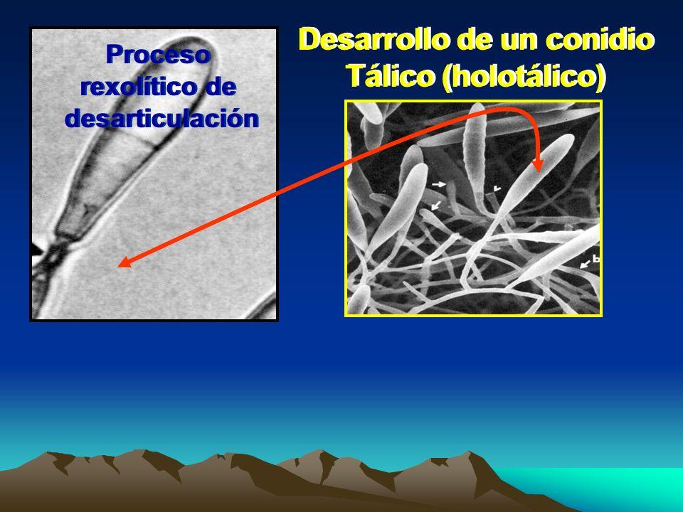 Desarrollo de un conidio Tálico (holotálico) Desarrollo de un conidio Tálico (holotálico) Proceso rexolítico de desarticulación Proceso rexolítico de
