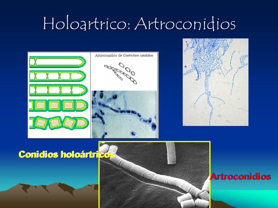 Holoartrico: Artroconidios Conidios holoártricos Artroconidios