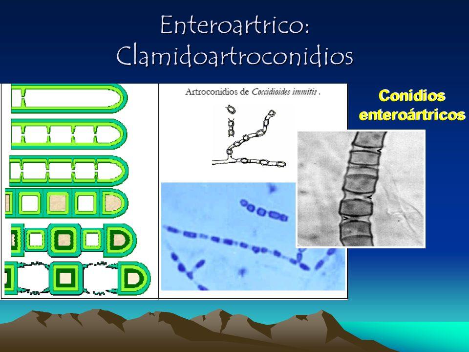 Enteroartrico: Clamidoartroconidios Conidios enteroártricos Conidios enteroártricos