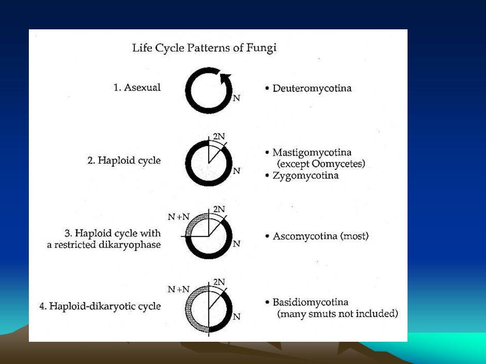 Ciclo de vida de un Ascomycete Ciclo de vida de un Ascomycete Micelio Vegetativo Micelio Aéreo Conidiogénesis Inicios Ascoma Ascos y ascosporas Propágulo y promicelio Tejidos Tiempo n días Tiempo n días