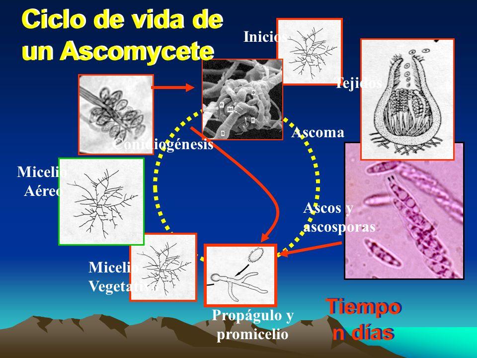 Zygomycetes (Mucor) : Ciclo de vida Esporangioconidios monocarioticos Germinación Esporangios Esporangio- conidios Progametangios Hifas compatibles (+) (-) Zigosporas Esporangios Ciclo asexual