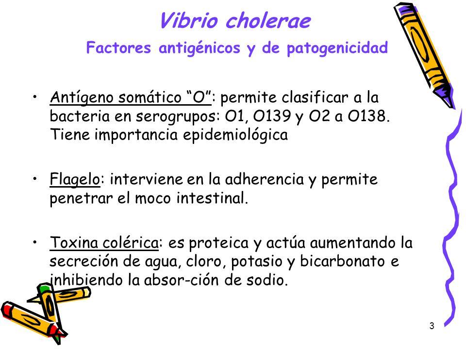 3 Vibrio cholerae Factores antigénicos y de patogenicidad Antígeno somático O: permite clasificar a la bacteria en serogrupos: O1, O139 y O2 a O138. T
