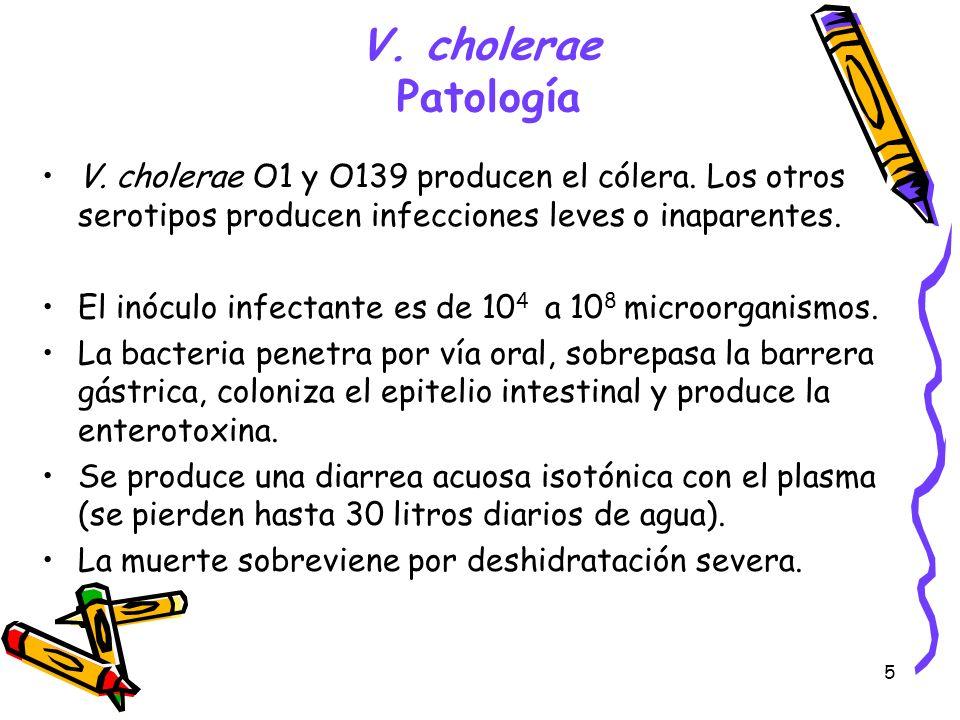 5 V. cholerae Patología V. cholerae O1 y O139 producen el cólera. Los otros serotipos producen infecciones leves o inaparentes. El inóculo infectante
